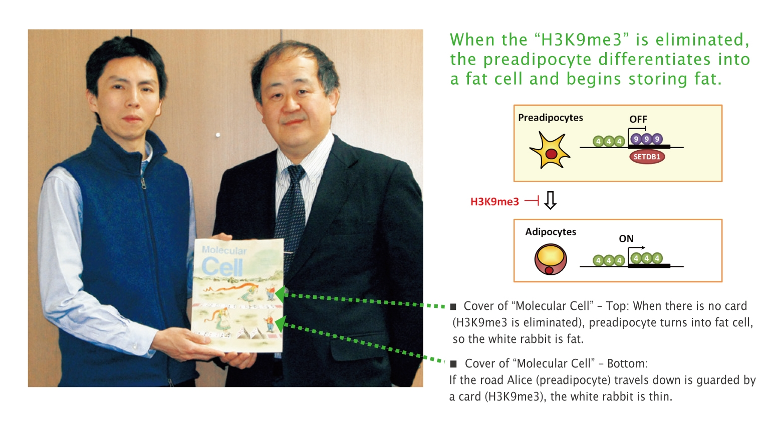 When the H3K9me3 is eliminated, the preadipocyte differentiates into a fat cell and begins storing fat
