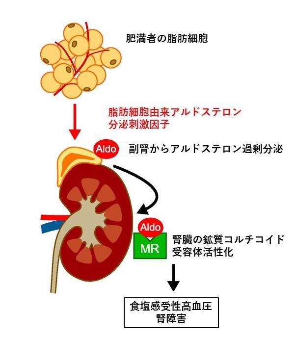 肥満者の脂肪細胞、脂肪細胞由来アルドステロン分泌刺激因子、副腎からアルドステロン過剰分泌、腎臓の鉱質コルチコイド受容体活性化、食塩感受性高血圧・腎障害